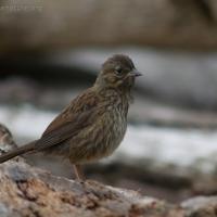 20060713-07-13p05songsparrow.jpg