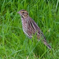20060905-09-05p05sparrow.jpg