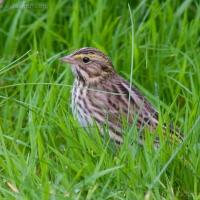 20060905-09-05p06sparrow.jpg