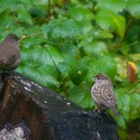 20060930-09-30p05sparrows.jpg