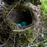 Hermit Thrush (Catharus guttatus) Nest