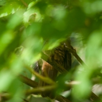 Thrush (Catharus sp.)