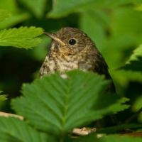 Thrush (Catharus sp.)