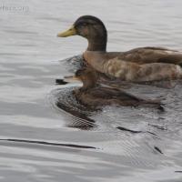20060819-08-19p17merg_duck.jpg