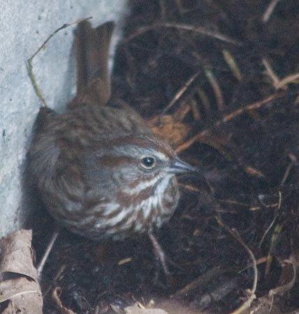 03-13songsparrow.jpg