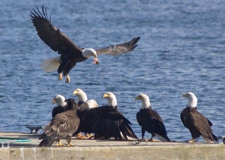 Bald Eagles at a Meal