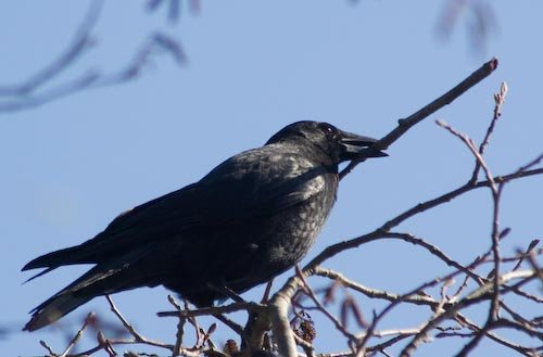 Northwestern Crow with Branch