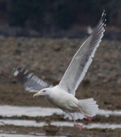 Dark Mantled Gull in Flight