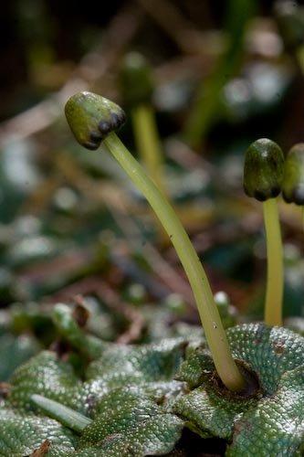Liverwort Sporophyte