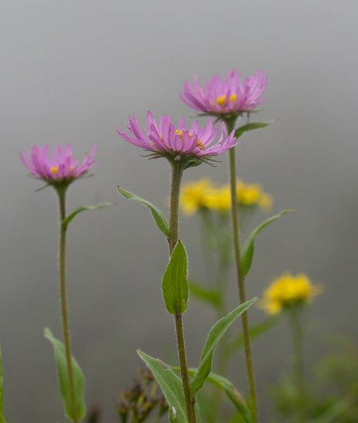 Subalpine Flowers