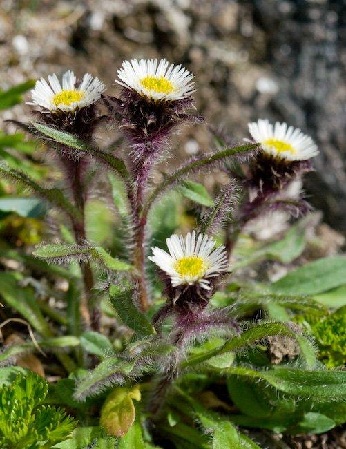 Arctic-alpine Daisy (Erigeron humilis)