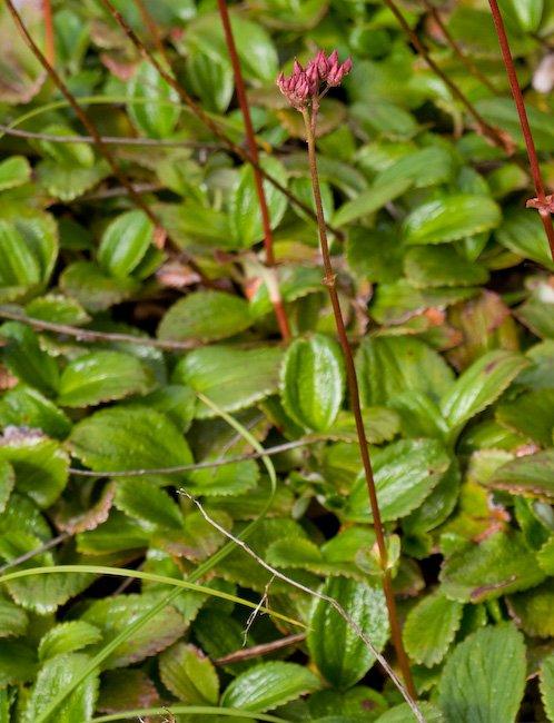 Leatherleaf Saxifrage (Leptarrhena pyrolifolia)