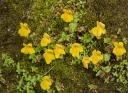 Yellow Monkey Flower (Mimulus guttatus)
