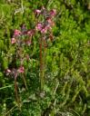 Bird-beak Lousewort (Pedicularis ornithorhyncha)
