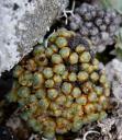 Cushion Saxifrage (Saxifraga eschscholtzii)