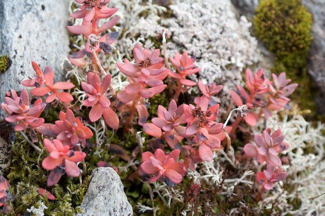 Roseroot (Sedum roseum)