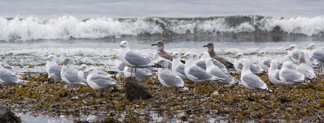 Gulls at Totem Park