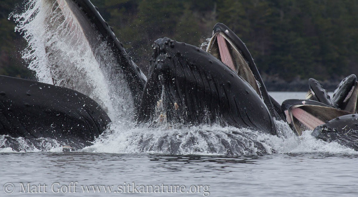 Humpback Whales breaking water with mouths open